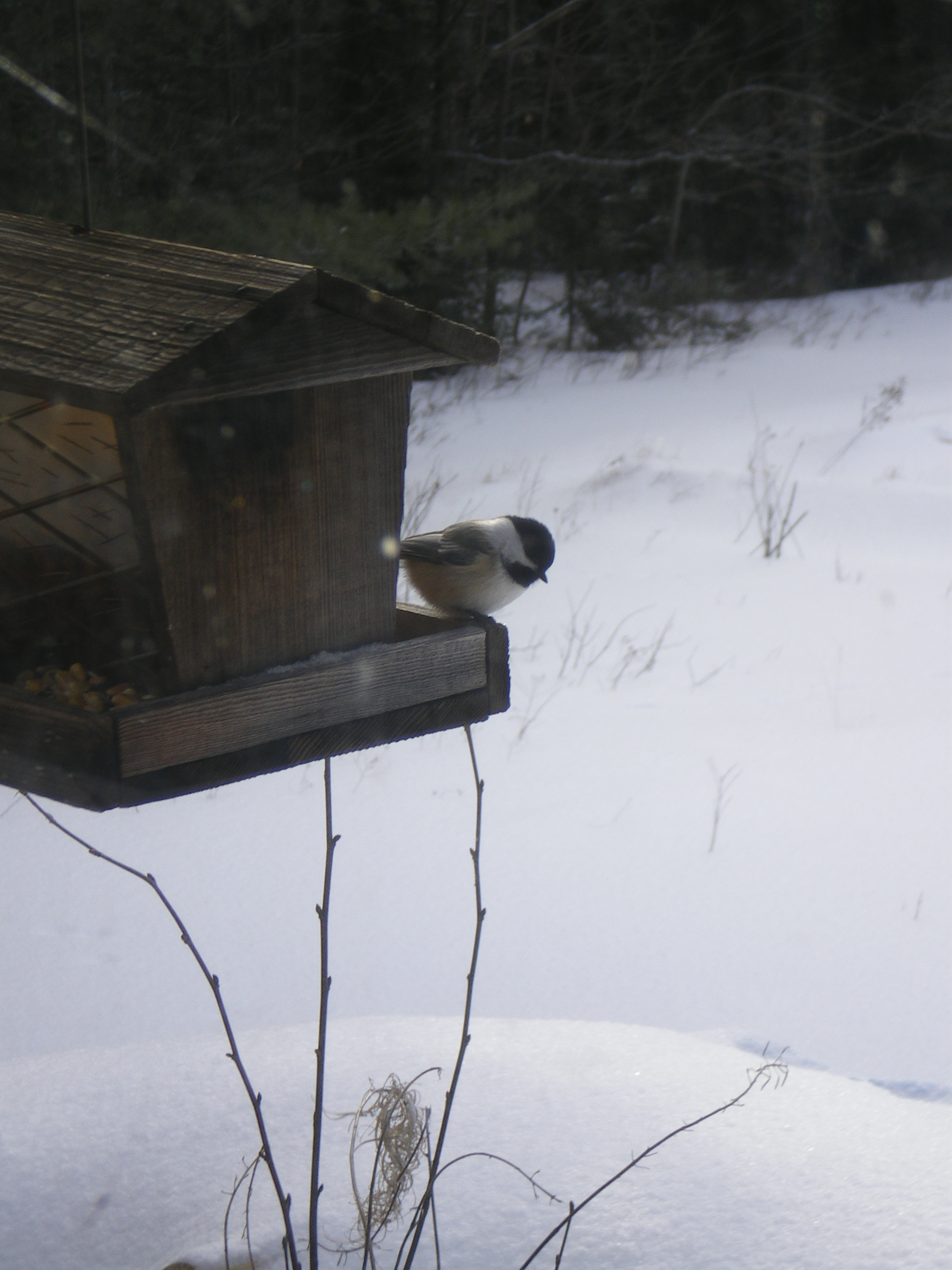 Black-capped chickadee through a dirty window
